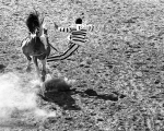 Cummins, 1972. Convict bronc rider, just thrown.